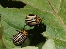 Colorado potato beetle Leptinotarsa decemlineata major pest of potato crops. Two Colorado beetles on a leaf. Colorado potato beetle Leptinotarsa decemlineata royalty free stock photo