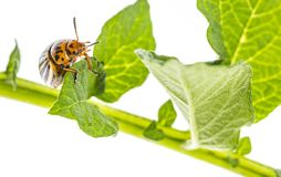 The Colorado potato beetle Leptinotarsa decemlineata. Pest of potatoes and tomatoes royalty free stock photography