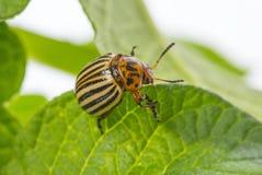 The Colorado potato beetle Leptinotarsa decemlineata. Pest of potatoes and tomatoes stock photography