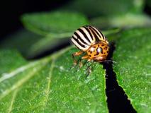 Colorado potato beetle, Leptinotarsa decemlineata, on potato lea Royalty Free Stock Photography