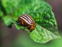Colorado potato beetle Royalty Free Stock Images