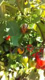 Colorado Potato Beetle, Leptinotarsa Decemlineata on Solanum Dulcamara, Bittersweet Nightshade Plant in Bright Sunlight. Colorado Potato Beetle, Leptinotarsa stock photos