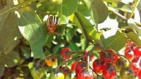 Colorado Potato Beetle, Leptinotarsa Decemlineata on Solanum Dulcamara, Bittersweet Nightshade Plant in Bright Sunlight. Colorado Potato Beetle, Leptinotarsa stock images