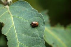 Colorado potato beetle or Leptinotarsa decemlineata on top of thick dark green half eaten leaf in local garden. Colorado potato beetle or Leptinotarsa stock photos