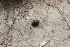 Colorado potato beetle or Leptinotarsa decemlineata walking on dry cracked ground surrounded with dried leaves. Colorado potato beetle or Leptinotarsa stock photos