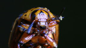 Colorado Potato Beetle Magnification