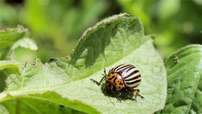 Colorado potato beetle on potato stock video footage