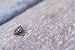 Colorado potato beetle on a potato leaf. Colorado potato beetle on a potato leaf stock photo