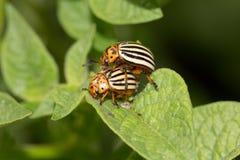 Colorado potato beetle on potato leaves in nature.  stock image