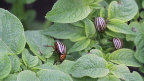Colorado potato beetle on potato leaves stock video footage