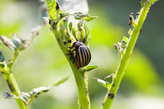 Colorado potato beetle on potatoes Royalty Free Stock Photos