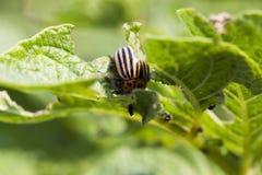 Colorado potato beetle on potatoes Stock Photo