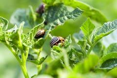 Colorado potato beetle on potatoes Royalty Free Stock Image