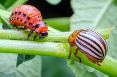Colorado potato beetle and red larva crawling and eating potato leaves.  stock photography