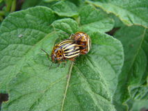 Colorado potato beetle. Is sitting but the leaves of the potato beetle pest of agriculture Stock Photography