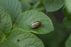 Colorado potato beetle sitting on potatoes Stock Photography
