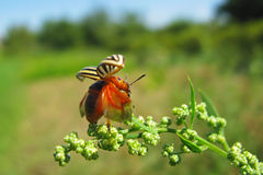 Colorado potato beetle starts to fly Stock Images