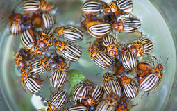 Colorado potato beetle thrown into a glass Stock Image