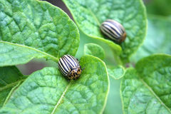 Colorado potato beetles Stock Photos