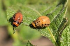 Colorado potato beetles eat the leaves of potatoes stock photo
