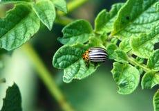 Colorado potato beetles. The Colorado potato beetles Leptinotarsa decemlineata also known as the Colorado beetle destroy potato plants and cause huge damage to royalty free stock photos