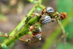 Colorado potato beetles. The Colorado potato beetles Leptinotarsa decemlineata also known as the Colorado beetle destroy potato plants and cause huge damage to royalty free stock image