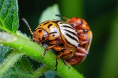 Colorado potato beetles mating on the leaves of green potatoes.  royalty free stock photos