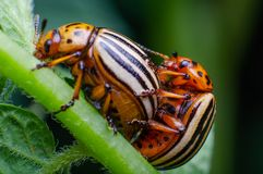 Colorado potato beetles mating on the leaves of green potatoes.  stock photo