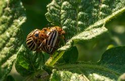 Colorado potato beetles in the summer vegetable garden. Colorado potato beetle eats a fresh leaf on a potato bush. Summer vegetable garden royalty free stock photos