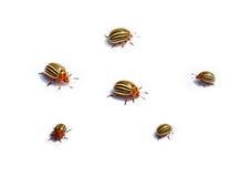 Colorado potato beetles on white background stock photos
