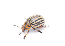 Colorado potato bug. (leptinotarsa decemlineata) isolated on the white background royalty free stock image