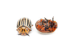 Colorado potato bug. Two colorado potato bug (leptinotarsa decemlineata) isolated on the white background stock photography
