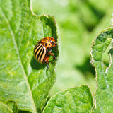 Colorado potato bug eats potatoes leaves Royalty Free Stock Photos