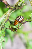 Colorado potato bug on potato bush close up. In garden in summer season stock photography