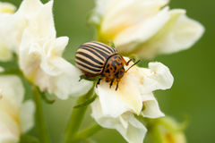 Colorado Potato Striped Beetle On Flower Of Potato. Stock Photography