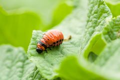 Colorado Potato Striped Beetle On Leaf Of Potato. Stock Image