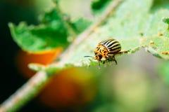 Colorado Potato Striped Beetle - Leptinotarsa Stock Photo