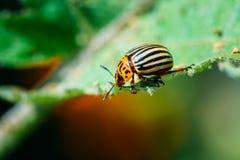 Colorado Potato Striped Beetle - Leptinotarsa Decemlineata Is A Serious Pest Stock Images
