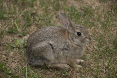 Colorado Rabbit. It was discovered somewhere in a neighborhood of Boulder, Colorado, USA Stock Image