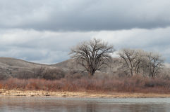 Colorado River with Bare Cottonwoods Stock Photo