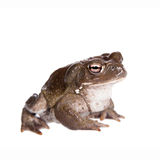 The Colorado River or Sonoran Desert toad on white. The Colorado River or Sonoran Desert toad, Incilius alvarius, on white royalty free stock image