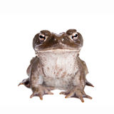 The Colorado River or Sonoran Desert toad on white. The Colorado River or Sonoran Desert toad, Incilius alvarius, on white royalty free stock photography