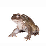 The Colorado River or Sonoran Desert toad on white Stock Images