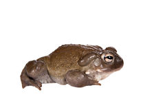 The Colorado River or Sonoran Desert toad on white. The Colorado River or Sonoran Desert toad, Incilius alvarius, on white stock photo