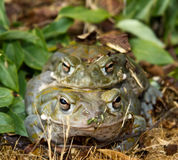 Colorado River Toad. Endangered Colorado River Toads during mating season stock images