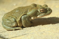 Colorado river toad Stock Photography