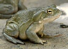 Colorado river toad 3. Colorado River Toad, also known as the Sonoran Desert Toad. Latin name - Bufo alvarius Stock Photos