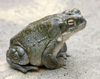 Colorado river toad 4. Colorado River Toad, also known as the Sonoran Desert Toad. Latin name - Bufo alvarius Stock Photos