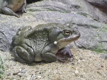Colorado river toad. Also known as Sonoran desert toad Stock Photos