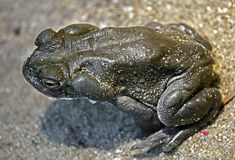 Colorado river toad 8. Colorado river toad also known as sonoran desert toad. Latin name - Bufo alvarius royalty free stock photo
